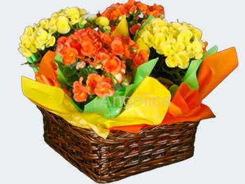 Canasta de Begonias Varios Colores